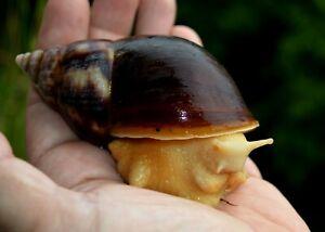 #1 Land Snail Lissachatina fulica White Jade  8-9cm