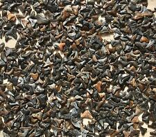 100 Fossil Shark Teeth Lot From Amelia Island Florida up to 1""