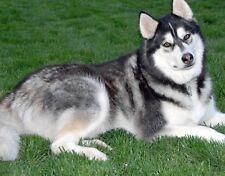 Alaskan Malamute / Dog 8 x 10 / 8x10 Glossy Photo Picture
