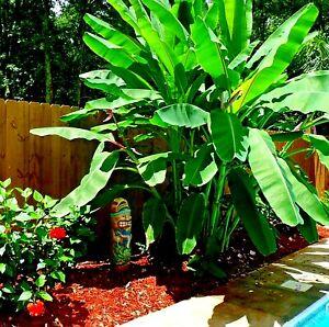 "10 ""DWARF"" Cavendish BANANA Tree Seeds (Musa acuminata) Tropical Fruit Plant"