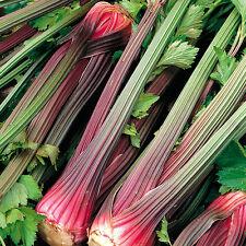 Celery Seeds - GIANT RED - Natural Healer -  MEDICINAL BENEFITS - 100 Seeds