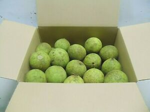 6 Lbs. BLACK WALNUTS CENTRAL PA. Green in the Hull  Picked Oct. 1st.
