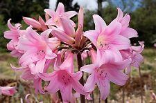 Pink Naked Ladies - 1 Large Bulb of Amaryllis Belladonna