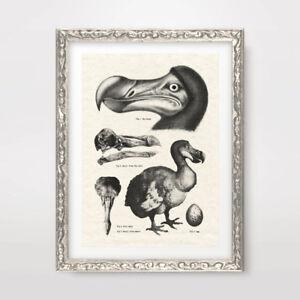 VINTAGE DODO ILLUSTRATIONS ART PRINT POSTER Antique Scientific Decor Picture