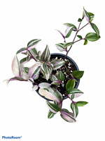 "Wandering Jew - Tricolor - 4"" Pot"