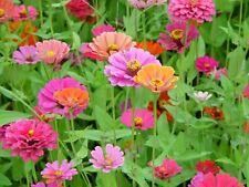 200 ZINNIA POMPON MIX Elegans Flower Seeds *Gift&CombSH