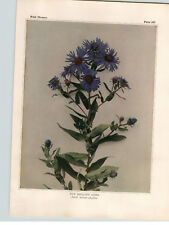 1934 Wildflower Book Plate New England, Upland White & Calico Aster