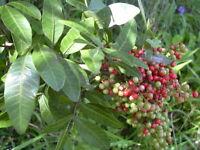 Schinus Terebinthifolius - Brazilian Pepper Tree - (25 Seeds) 041B