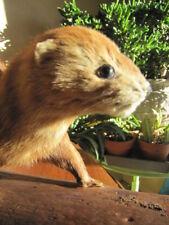 Taxidermy Full Mount Mink Weasel