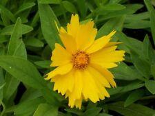 6 Tickseed Coreopsis Grandiflora 'Pot of Gold' Plants – Deer Proof - Perennial