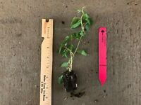 Prolific Kiwi (Actinidia arguta) 1 TC Plant/Plug-4-8in Edible Fruit Self-Fertile