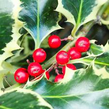 Ilex aquifolium 'Argentea Marginata' | Silver Var. Holly | Ornamental Tree|5-6ft