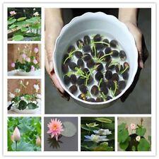 10 Pcs/Pack Water Lily Plant Bowl Lotus Bonsai Hydroponic Plants Aquatic Plants