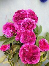 Charles de Mills' rose plant (aka Bizarre Triomphant rose)bush