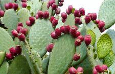 15 Graines de Figuier de Barbarie Cactus Méthode BIO seeds fruit vivace jardin