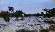 1.5 Year Old Tung Oil Trees, near Ocala, Florida, Magic Lantern Glass Slide