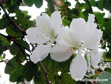White Orchid Tree Seed Small Deciduous Tree Warm Climate Bauhinia alba