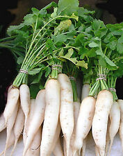 White Spear Radish Daikon Miyashige❋500 SEEDS❋Flavorful❋Healthy Roots & Greens