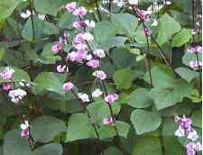 Asian Hyacinth Bean 10 Organic Seeds (delicious vegetable beans)