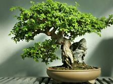 Chinese elm tree! Fresh seeds, indoor our outdoor bonsai tree! Fast growing!