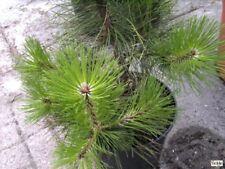 Pinus halepensis - Aleppo-Kiefer