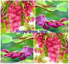 ARNOT BRISTLY LOCUST - 25 SEEDS - Robinia fertilis Bonsai - Robinia hispida