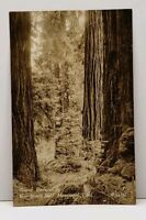 RPPC Giant Redwoods Muir Woods Nat'l Monument California Real Photo Postcard G9