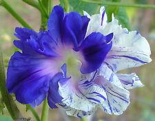 Hige Mix of Jamie Lynn & Blueberry Twist Morning Glory | 40 Seeds