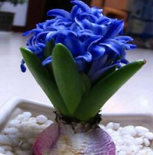 100 pcs/bag Color Mixed Hyacinthus Orientalis Seed, Flower seeds