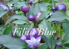 HOT CHILLI PEPPER - FILIUS BLUE -   10 SEEDS