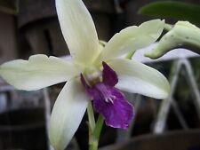 Dendrobium Madame Vipa 13 bulbs 35 x 30 cm BS