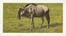 Gnu wildebeest Connochaetes wildebeest antelopes Africa mammals animal image card