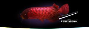 OCEAN FREE SUPREME AROWANA COLOUR ENHANCEMENT LED LIGHT RED (175 CM) 57 W