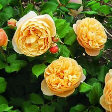 Old English Climbing Rose Plant Yellow Shrub Flower Roses House Wall Climbers