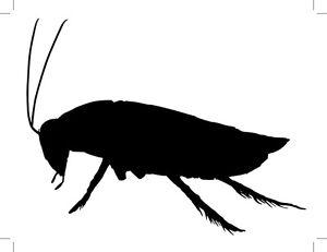 Blaptica Dubia Roach size MEDIUM 1-2cm  Argentine Cockroach .