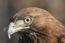 Red Tailed Hawk Taxidermy Reference Photo Cd