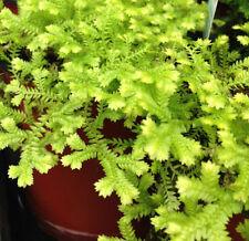 Fern House Plants