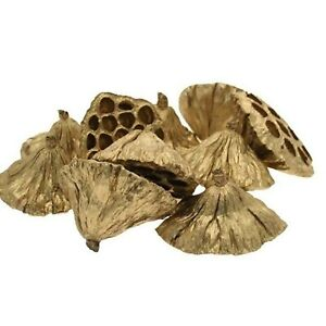 Dried Lotus Seed Heads x9 Gold floristry christmas crafts can wire and glue