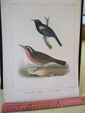 Vintage Print,YELLOW WING BLACK BIRD,U.S.Astrological Expedition,Chromo,1855#1