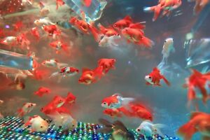 Image For China Multi Color Beautiful Gold Fish Photo Background