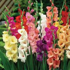 100 Seeds Mixed Color Gladiolus Bonsai Plant Tree House Herb Garden Flower Decor