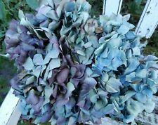 12 Dried Hydrangea Flowers Lt Blue, Green, Cream w/ Purple Crafts Seconds