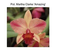 """Pot Martha Clarke 'Amazing' X Pot Burana Love 'SVO' AM/AOS 4"""" (15) 6261"""