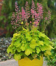"""heuchera PRIMO PRETTY PISTACHIO villosa Coral Bell 2.5"""" pot☆1 Live Potted Plant☆"""