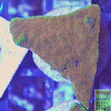 """New listing Saf~Orange Psammacora Coral Frag """"Wysiwyg�, Live Coral, Sps, Lps, Colony"""