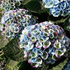 15x Everlasting Revolution Hydrangea Samen Garten Regenbogen Blumen Pflanze #161