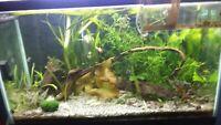 Vallisneria  - Jungle Val Live Freshwater Aquarium Background Plants