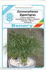 Zyperngras Cyperus alternifolius 35 Pflanzen Benary Samen