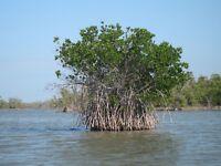 10 x Mangroven Stecklinge  -bewurzelt-  ,,Rhizophora mangle'' Rote Mangrove