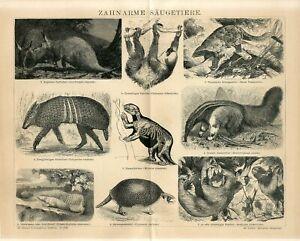 1882 SLOTH SKELETON ARMADILLO AARDVARK GREAT ANTEATER Antique Engraving Print